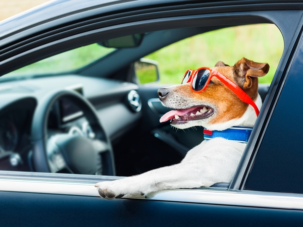 Dog enjoying a car drive